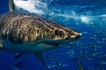 Guadalupe shark-1