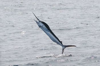 800px-White_Marlin_in_North_Carolina_1394318584
