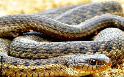 Garter-snake_cdfw_david-hannigan_25995