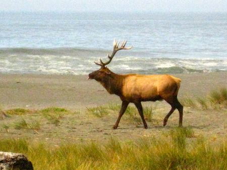 Elk-on-the-beach_2043