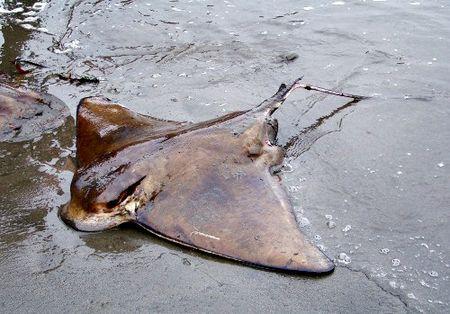 Bat-ray-d-troutte