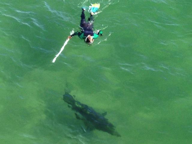Redondo Beach Ca Shark