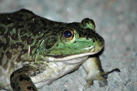 Bullfrog_davefeliz1