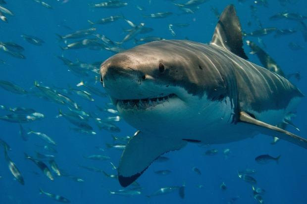 SharkDiver1