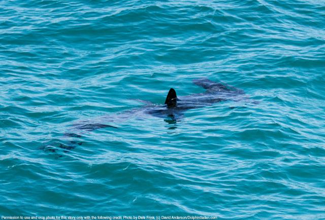 07.08.14-Hammerhead-Shark-8568-Copyright-Dolphin-Safari