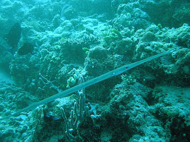 Cornetfish:Fistularia_commersonii1