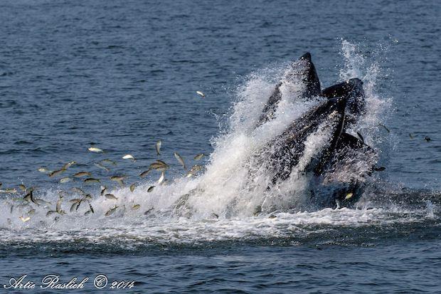 Humpbackwhale2