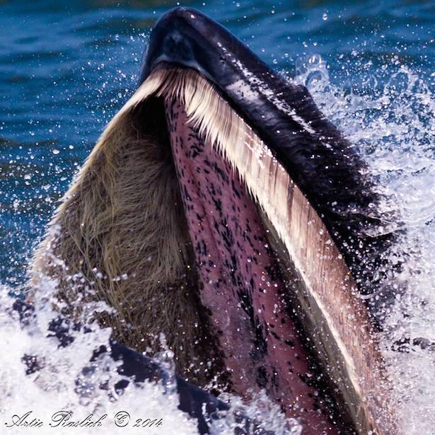 Humpbackwhalebaleen