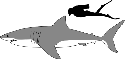 Sharkillustration.jpeg