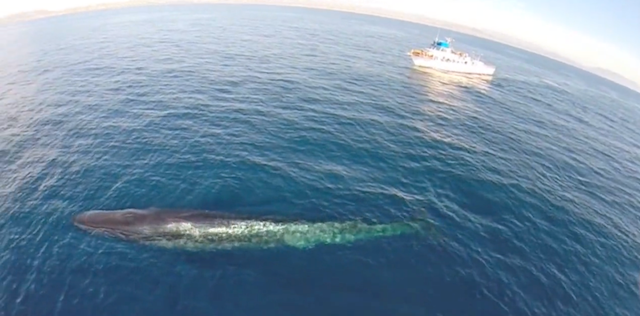 Whale watching with drones