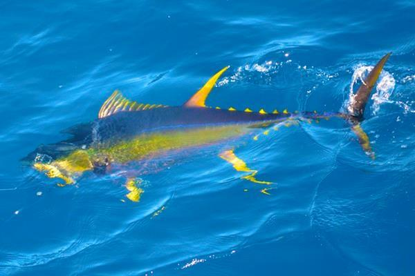 Yellowfinrayor