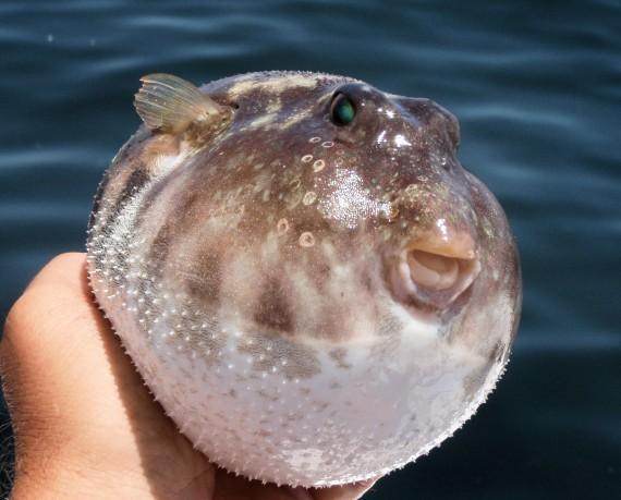 Longnosepuffer:Mexfish.com