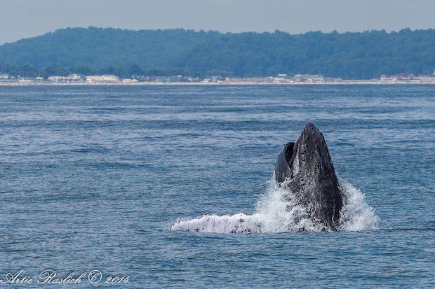 Humpbackwhale3