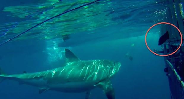 Shark2