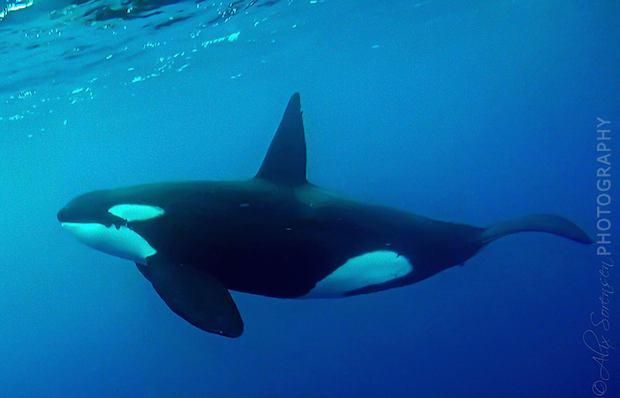 Orca1