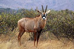 Roan_antelope_(Hippotragus_equinus)_male
