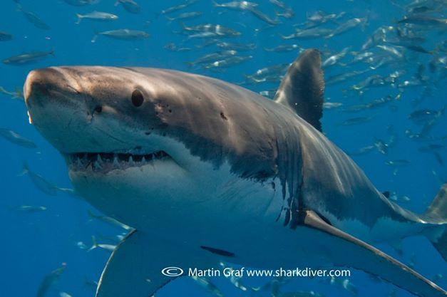 SharkDiverGWS