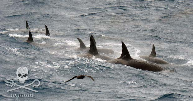 Orcas2