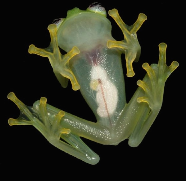 Glassfrog-copy