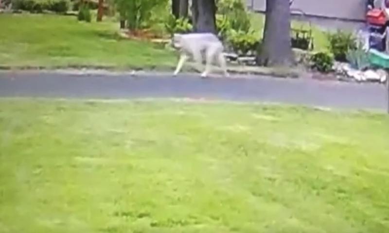 Wisconsinwolf