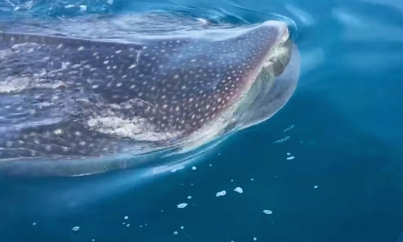 Whalesharkfla