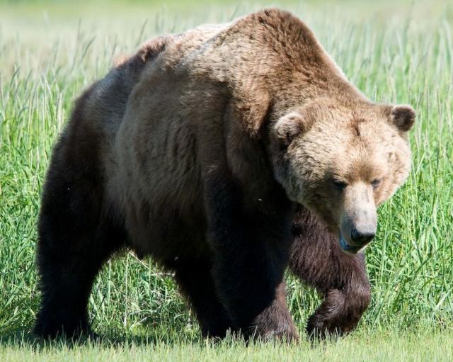 Grizzlyusfws