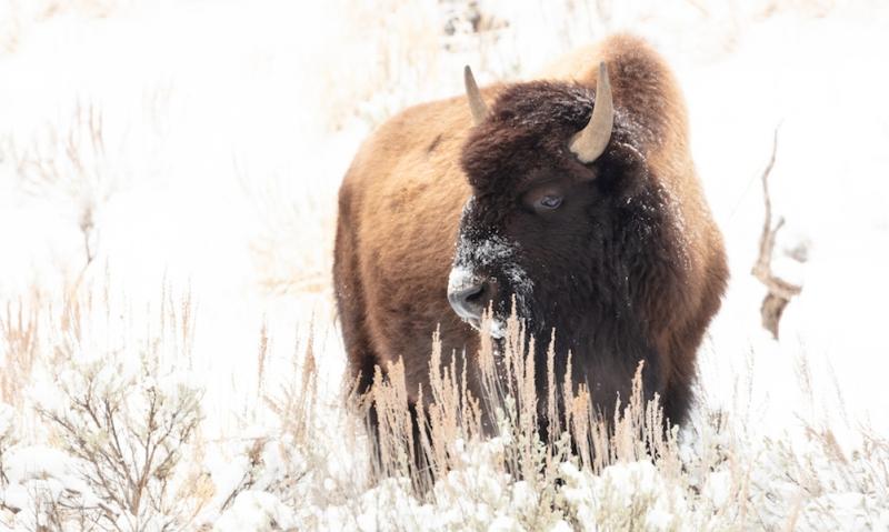 Bison-nps