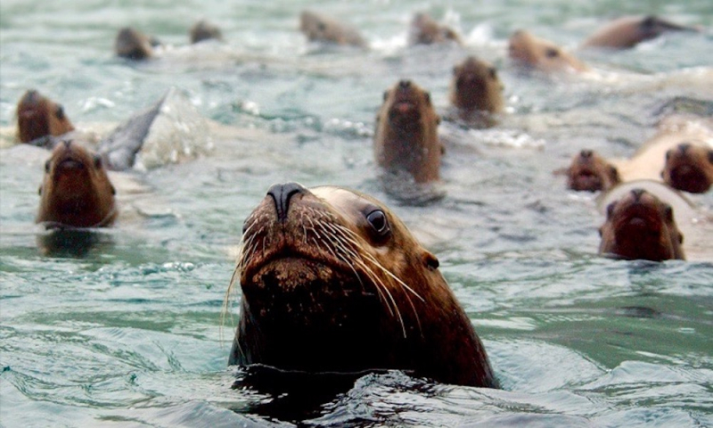 Steller-sea-lions-in-water
