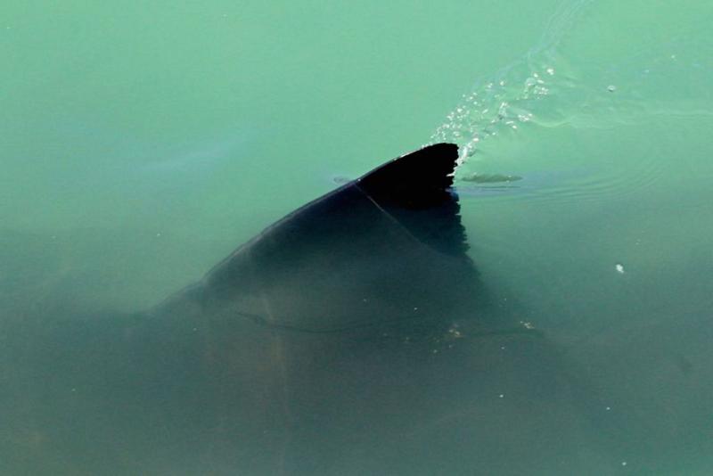Whitesharkfin