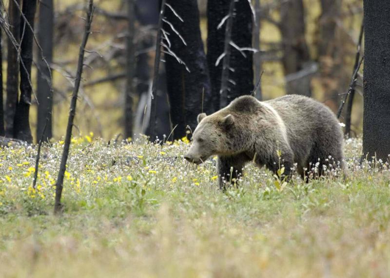 Grizzly-usfws