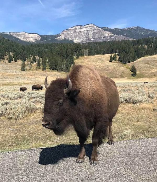 Ynp-bison